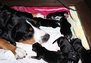 Jetta amazed with her pups 1 day old