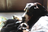 Jetta w/ pups 3 weeks