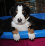 Red Boy 4 weeks in puppy pool ...