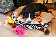 Jetta,,,, very tired after playing w/ pups