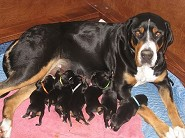 Maddy with her 8 pups -2 days old