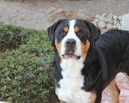 Handsome Gus 1.4 year old ~ Santa Barbara